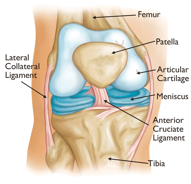 Knee Joint Anatomy Video Image collections - human body anatomy